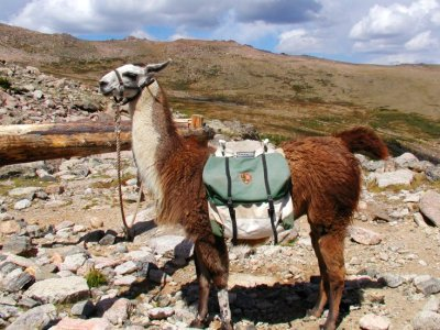 Llama Treks   Not Just in Peru Anymore