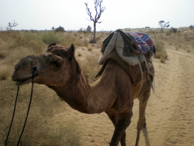 Hump Day: My Camel Trek In India