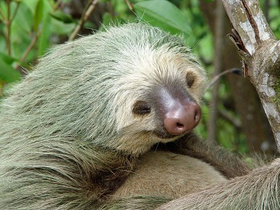 Sloth-two-toed-eyes-closed-Tortuguero